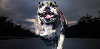 Bulldog running toward camera. Photo/Shutterstock.