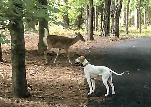 Above, Carolyn Taylor's dog and a bold doe give a narrow berth to each other along a Peachtree City golf cart path. Photo/Screen grabs of video by Carolyn Taylor.