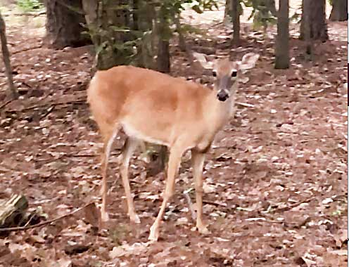 Doe unafraid of two people and their dog. Photo/Screen grab of video by Carolyn Taylor.