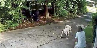 A home surveillance video shows two large hunting dogs attacking Krista Hinkle's 10-pound Yorkshire terrier, Harley, in her driveway Sunday morning. The two Argentinian mastiffs also attacked and injured her and a neighbor before deputies arrived. One of the two attackers was later killed. Photo/Krista Hinkle.