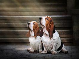 Two basset hounds gaze upward. Photo/Shutterstock.