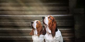 Two basset hounds gaze upward. Photo/Shutterstock.