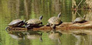 Turtles — but not people — are allowed to enjoy the LIne Creek Nature Area during the statewide Shelter in Place order. Photo/File.
