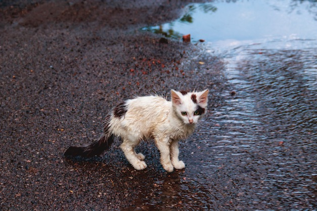 Who will help save cats like this? — A lack of volunteers specifically for cats imperils the Fayette Humane Society's homeless cat programs, and town hall meetings are planned to help the at-risk programs. Photo/Shutterstock.