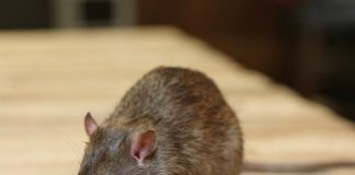 Image of rat/Shutterstock.