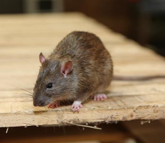 Image of rat/Shutterstock.