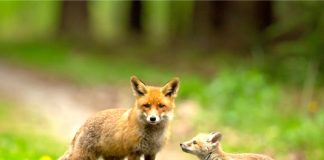 Red fox and young. Photo/Shutterstock.