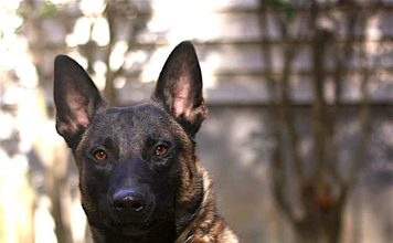 Peachtree City Police Department's K-9 Midas. Photo/Submitted.