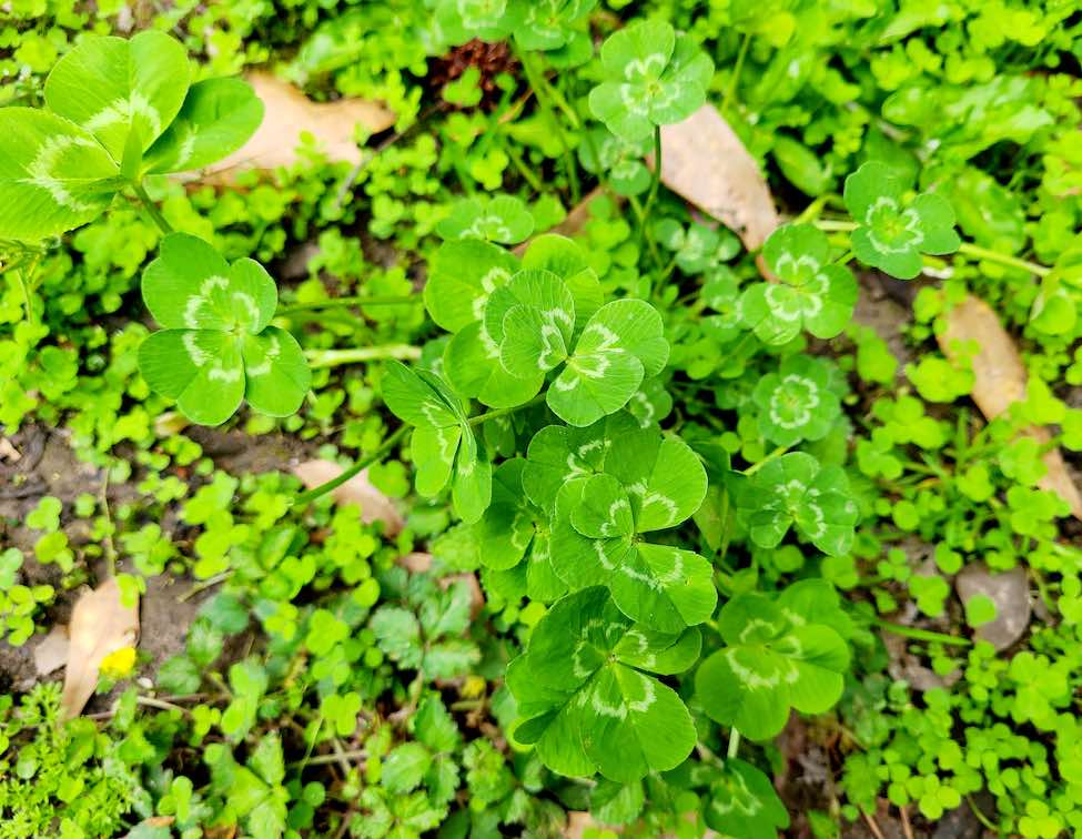 <b>Mary Paul focuses on the patch of bountiful leaf clovers.</b>