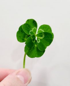 <b>One of the 6-leaf clovers found in the Pauls' yard. Photo/Mary Paul.</b>