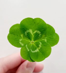 <b>A 5-leaf clover find held by a member of the Paul family.</b>