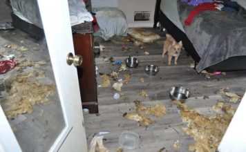 A bedroom inside the 2,000 sq. ft. home showing one of the 10 dogs rescued by authorities, as well as the animals' mess on the floor and bed. Photo/Submitted.